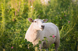 White sheep in clover flowers