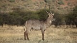 Waterbuck bull standing in natural habitat