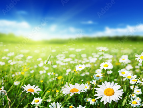 canvas print picture field of daisy flowers