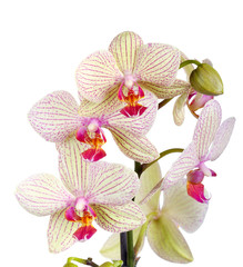White and violet orchid