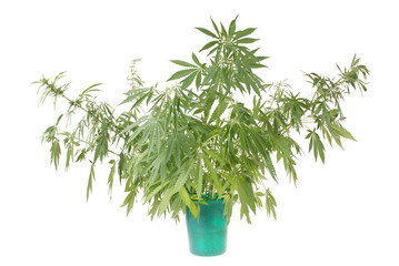 Hemp (cannabis) in the bucket
