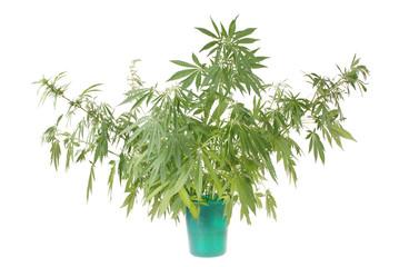 Hemp (cannabis) in the bucket