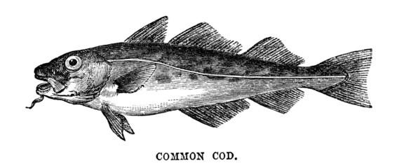 common cod