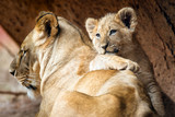African lion cub resting on his mother lioness