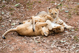 African lion cubs playing