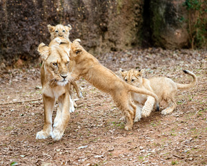 African lion cubs playing with their mother lioness