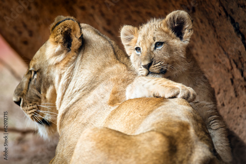 Poster Leeuw African lion cub resting on his mother lioness