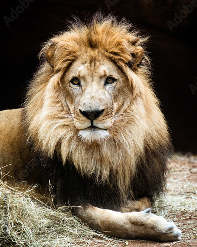 Fotobehang Leeuw Portrait of male African lion