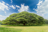 The largest monkey pod tree on the blue sky