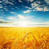 field with golden harvest and sunset