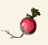 hand drawn vintage illustration of beetroot