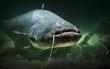 Underwater photo of The Catfish (Silurus Glanis).