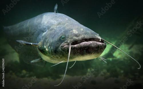 Underwater photo of The Catfish (Silurus Glanis). - 62096361