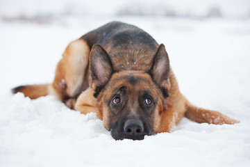 Red-haired shepherd lying in the snow