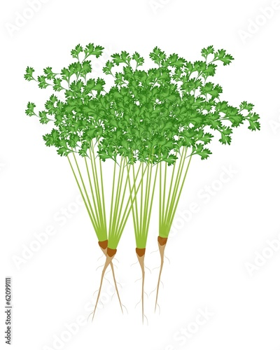 Fresh Green Coriander on A White Background