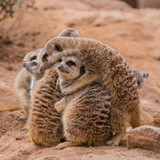 Group of meerkats hugging