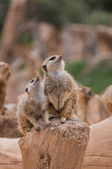 Two meerkats looking up