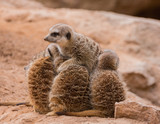Leader of meerkats