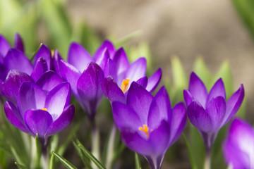 Crocus flowers