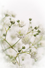 Gypsophila flower
