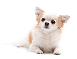 furry white with red  Chihuahua dog on white background