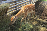 Beautiful little spotted fawn in the aviary.