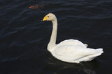 Beautiful white swan swims in a pond.