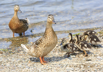 Family of ducks walking along the shore of the pond.