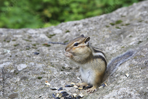Funny wild chipmunk eats seeds.