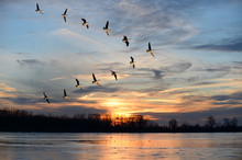 "Постер, картина, фотообои ""Canadian Geese Flying in V Formation"""
