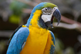 Blue and yellow Macaw Squawking