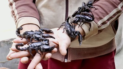 Scorpions Being Handled