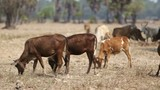 Many Cow Eat Dry Grass