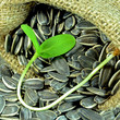 Sunflower seed and sunflower sprout.