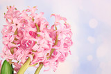 Pink hyacinth on bright background