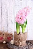Pink hyacinth in pot with decorative box