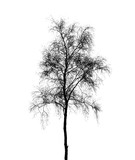 Birch tree silhouette isolated on white background