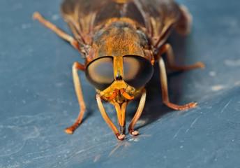 Horsefly 5