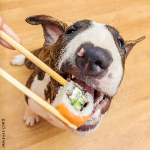 Bullterrier dog eating sushi roll from chopstick, Shallow of DOF