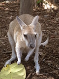Kangaroo with a Leaf