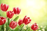 Fototapety Red tulips