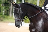 Black horse portrait during dressage competition