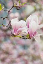 Magnolia fleurs au printemps