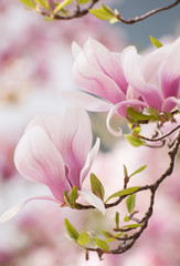 Magnolia flower in springtime
