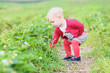 toddler girl picks up strawberries from the field in a farm