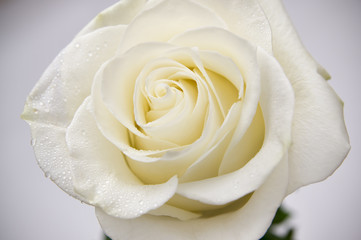 White rose with dew drops closeup