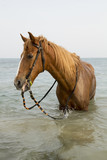 Brown horse standing in the sea