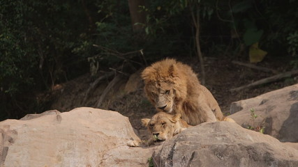 two lions mating during the love season in China safari park.