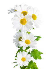 fresh white chrysanthemum like  chamomiles is isolated on white
