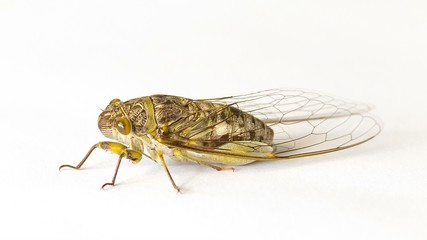 Cicada on a white background